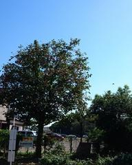 なんか嬉しい道のわきの柿の木.jpg