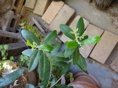 オリーブの木からも新しい芽が.jpg