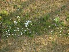 ニラの花の群生.jpg
