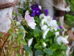 ミニバラが咲きました.jpg