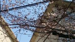 上尾の桜は未だまだ.jpg