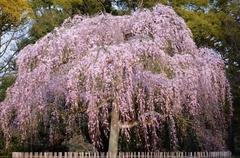 京都御苑のしだれ桜だそうです♪みごと!.jpg