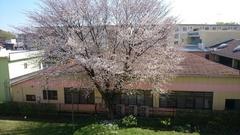 今が一番きれい 遅咲きの桜.jpg