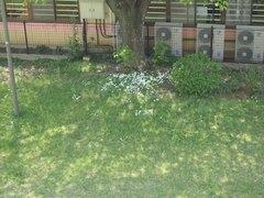 今が盛りのニラの花.jpg