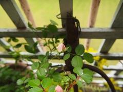 今はピンクでも咲いたら白いミニバラ.jpg