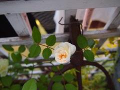 今日もバラの花が開いて.jpg