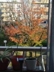 仕事部屋の前の桜の木 キラキラ綺麗.jpg