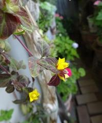 何の花かな~このベランダ初めての花.jpg