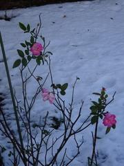 地植えのバラさん 寒かったでしょ~.jpg