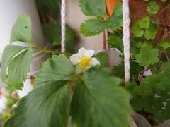 朝一でイチゴの花見っけ♪.jpg