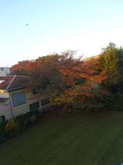 朝陽が紅葉した桜の木を照らしてる.jpg
