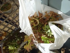 枯草を袋いっぱいとりました.jpg