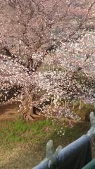 桜の花が.jpg