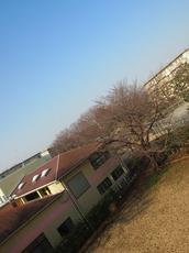 桜の蕾が少しプックリと.jpg