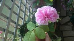 留守中に咲いたバラを摘んで.jpg