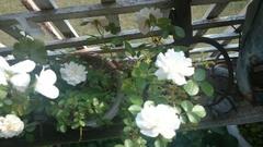 眩しいくらい白いゼラニウムとバラ.jpg