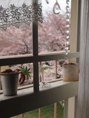 窓の外は満開の桜.jpg