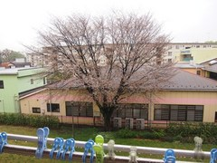 良く降る雨だ事 一番遅い桜が咲きそうです.jpg