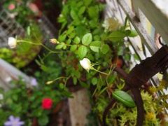 薔薇が咲いたバラが咲いた♪.jpg