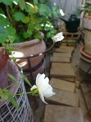 薔薇が咲き.jpg