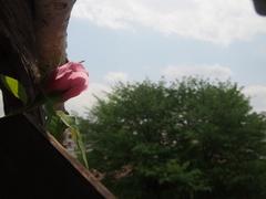 薔薇さん 日向ぼっこですか♪.jpg