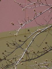 裏の桜の蕾 膨らんできたわ.jpg