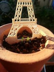 西もっちゃんにあげたパリ土産から芽が出た♪.jpg