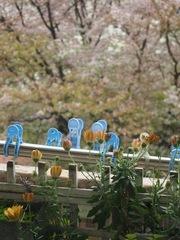 見おさめの桜.jpg