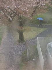 青い傘の少年 桜と雪の入り混じる中を行く.jpg