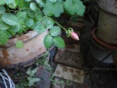 薔薇の蕾が・・・お正月に咲くかな?.jpg